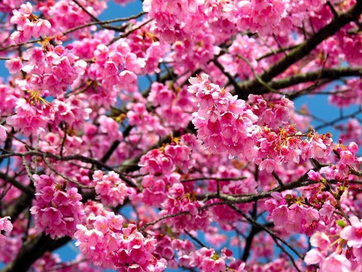 la fioritura dei ciliegi in giappone