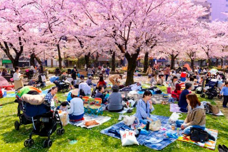 un pic nic giapponese per festeggiare la fioritura dei ciliegi