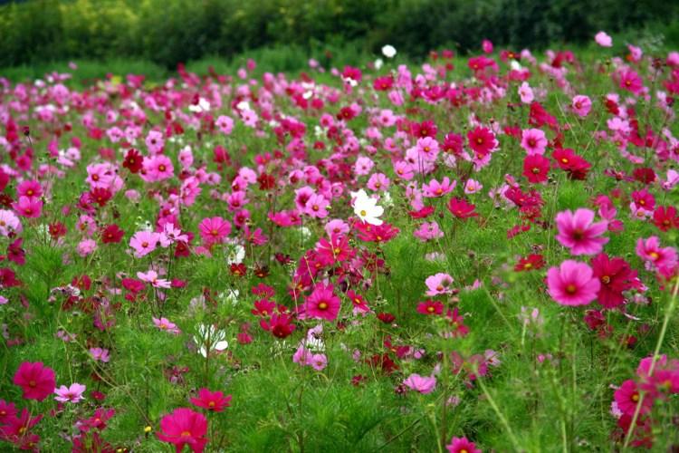 una magnifica distesa di fiori