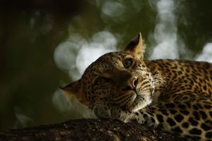 Lounging Leopard Wildlife Photographer of the Year