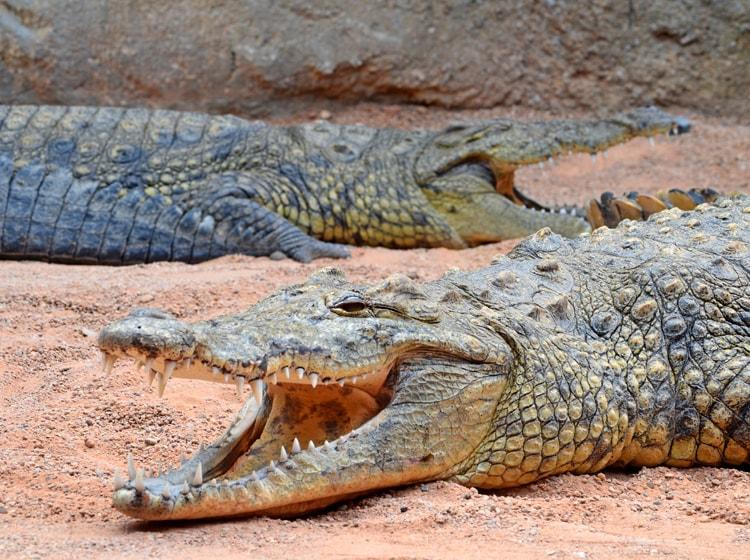 il coccodrillo del nilo è una delle specie ospitate nel bioparc di valencia