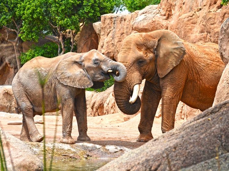 esemplari di elefanti africani nell'area savana del bioparc di valencia