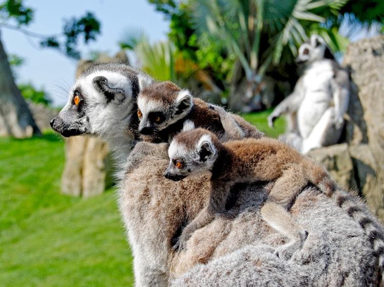 una famiglia di lemur catta ospitata nel bioparc di valencia