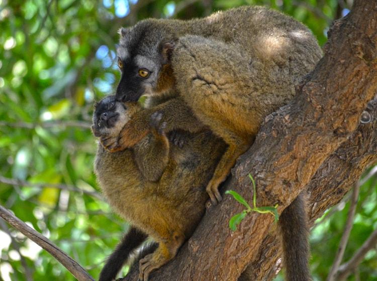 una coppia di lemur frentirrojo nel bioparc