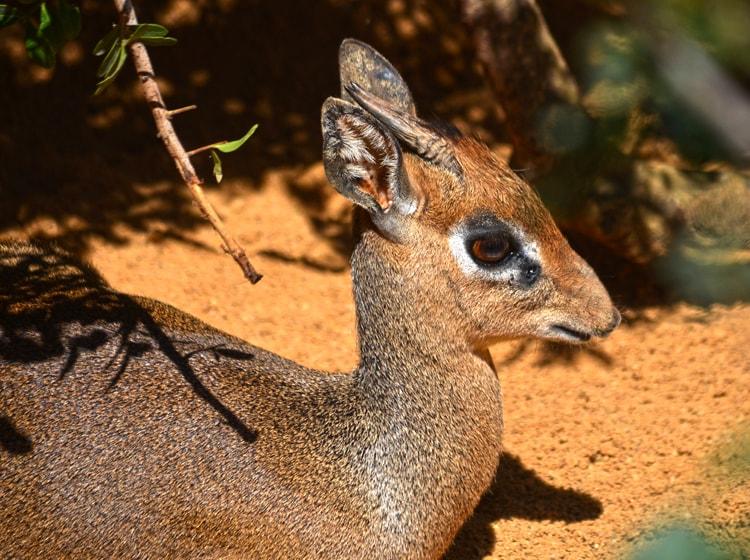 un esemplare di madoqua kirk simile a un cerbiatto nel bioparc di valencia