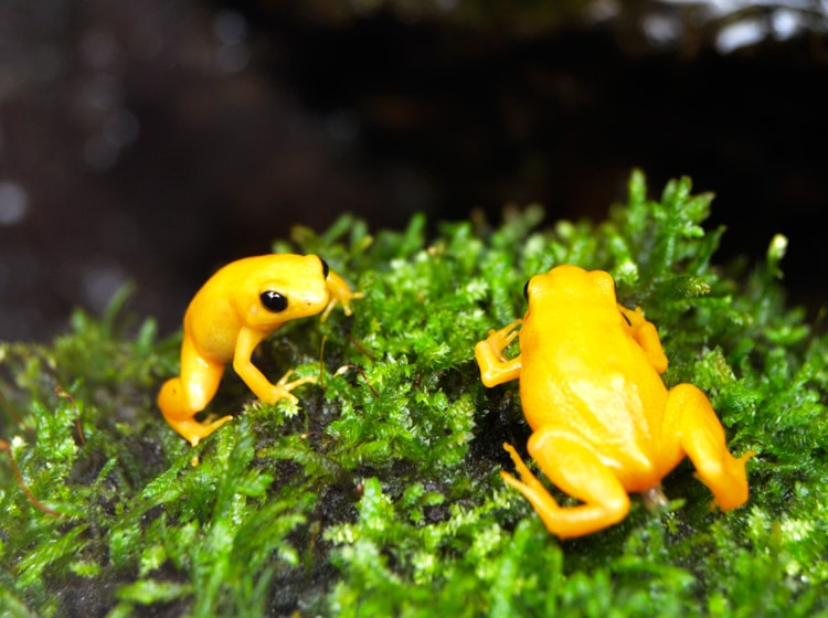 le bellissime mantela d'oro nel bioparc