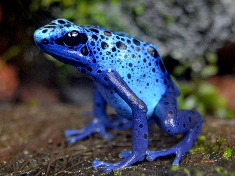 la bellissima rana blu veleno ospitata nel bioparc