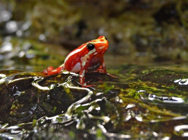 la Veleno heleophrynidae ospitata nel bioparc