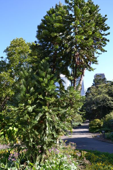 Pianta dei Dinosauri Royal Botanic Gardens