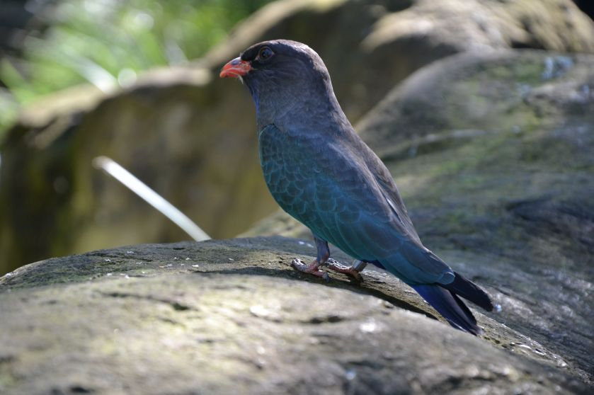 Uccello Taroonga Zoo Sydney