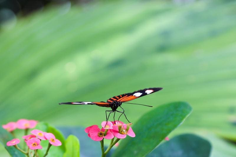 Key West Butterfly