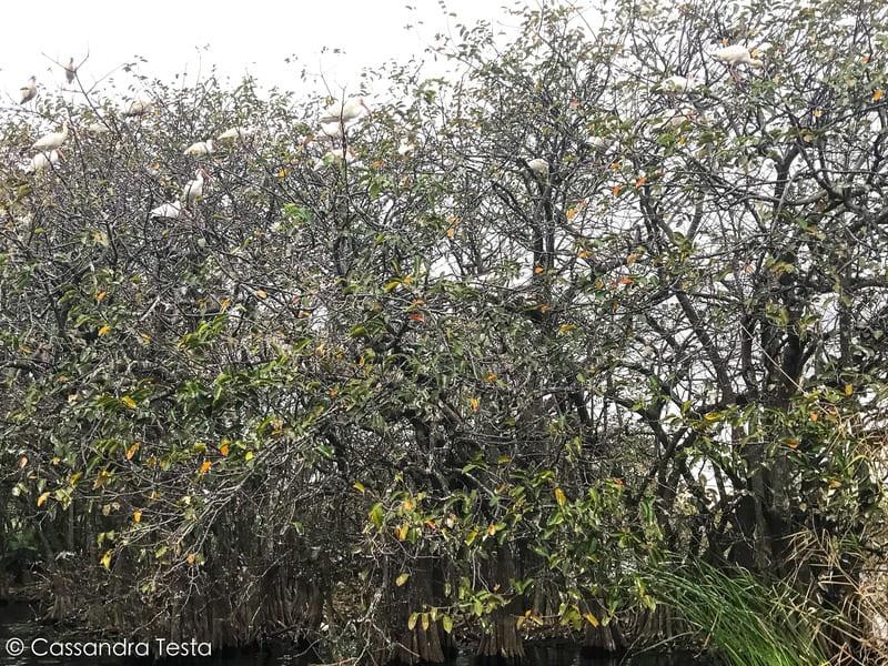 Uccelli alle Everglades