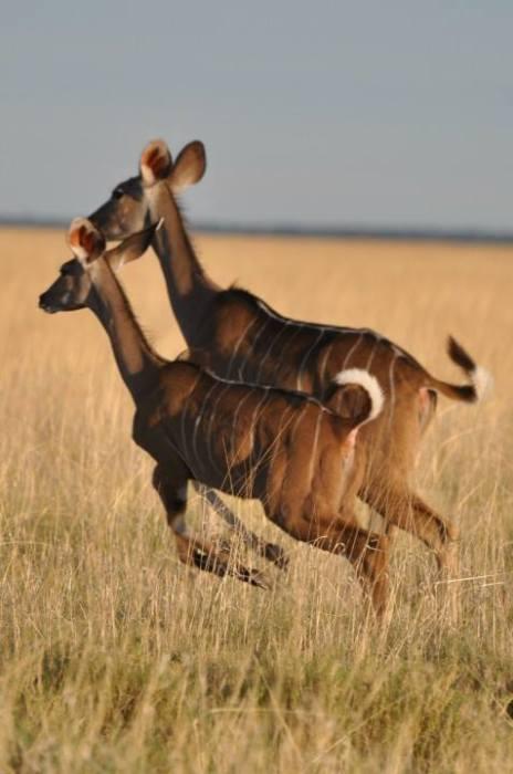 Namibia_Etosha_Antilopi
