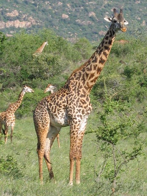 Kenya - Tsavo West National Park - Giraffe