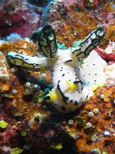 Indonesia - Walea Island - Notodoris Serenae