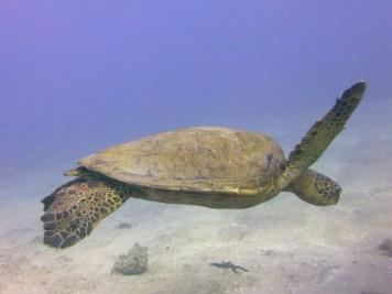 Hawaii - Maui - Molokini Crater, Green turtle - Chelonia mydas