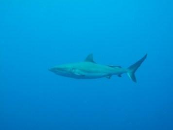 Squalo - Carcharhinus