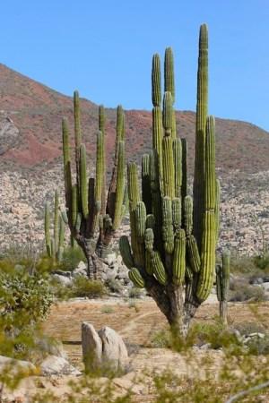 Cataviñá - Cardon Cactus