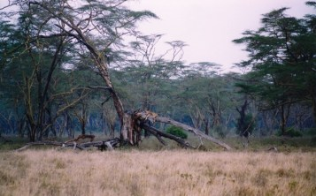 Kenya - Lake Nakuru National Park - Leonessa