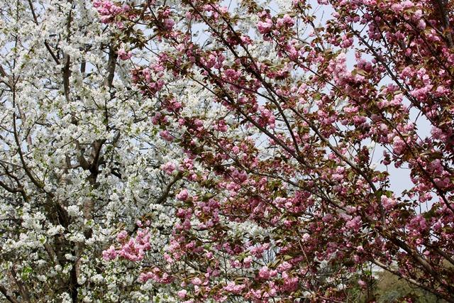 Fioritura dei Sakura
