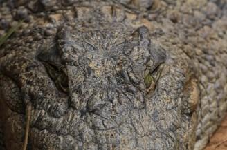 Madagascar - Andasibe - Vakona Private Reserve - Coccodrillo del Nilo