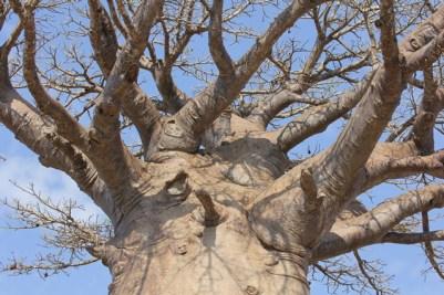 Madagascar - Morondava - Baobab