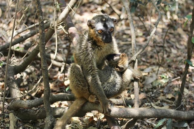 Lemuri Isalo Madagascar