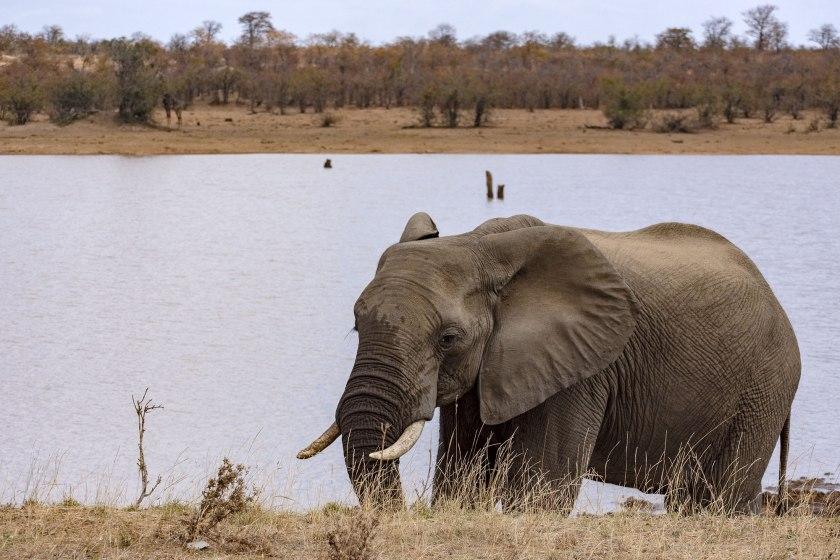 elefante-nel-kruger-NP
