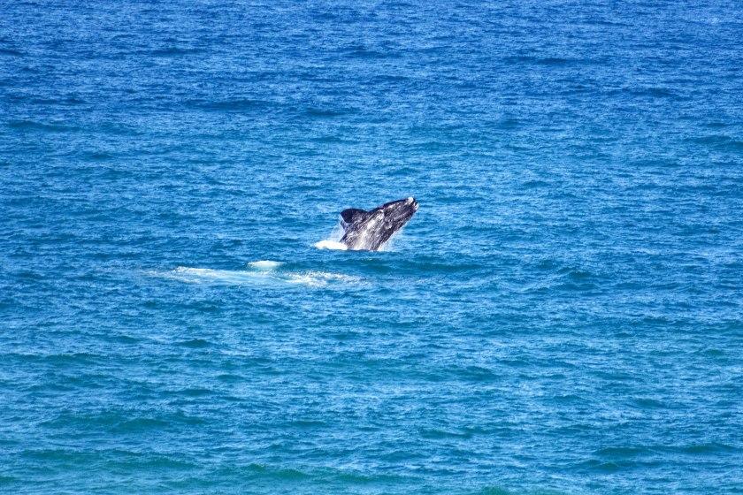 vedere-le-balene-australi