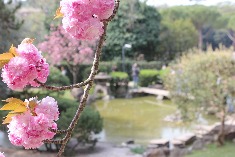 La fioritura dei ciliegi al giardino giapponese di roma viaggi e