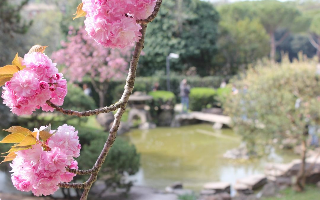 La fioritura dei ciliegi al Giardino Giapponese di Roma