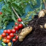 pomodori e patate