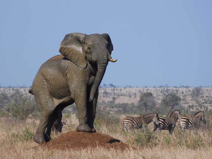 Elefante Kruger turismo responsabile