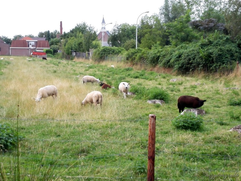 kaatsheuvel sheeps