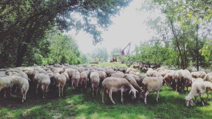camino-de-santiago-camino-frances-castilla-ovejas-sonsoles-lozano