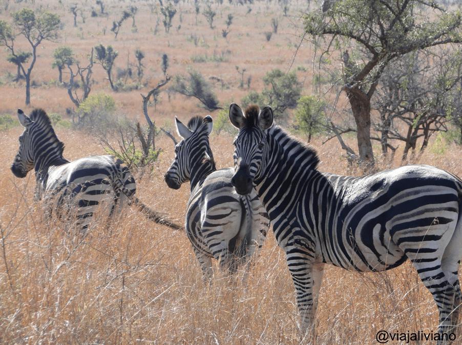 Zebras en Kruger