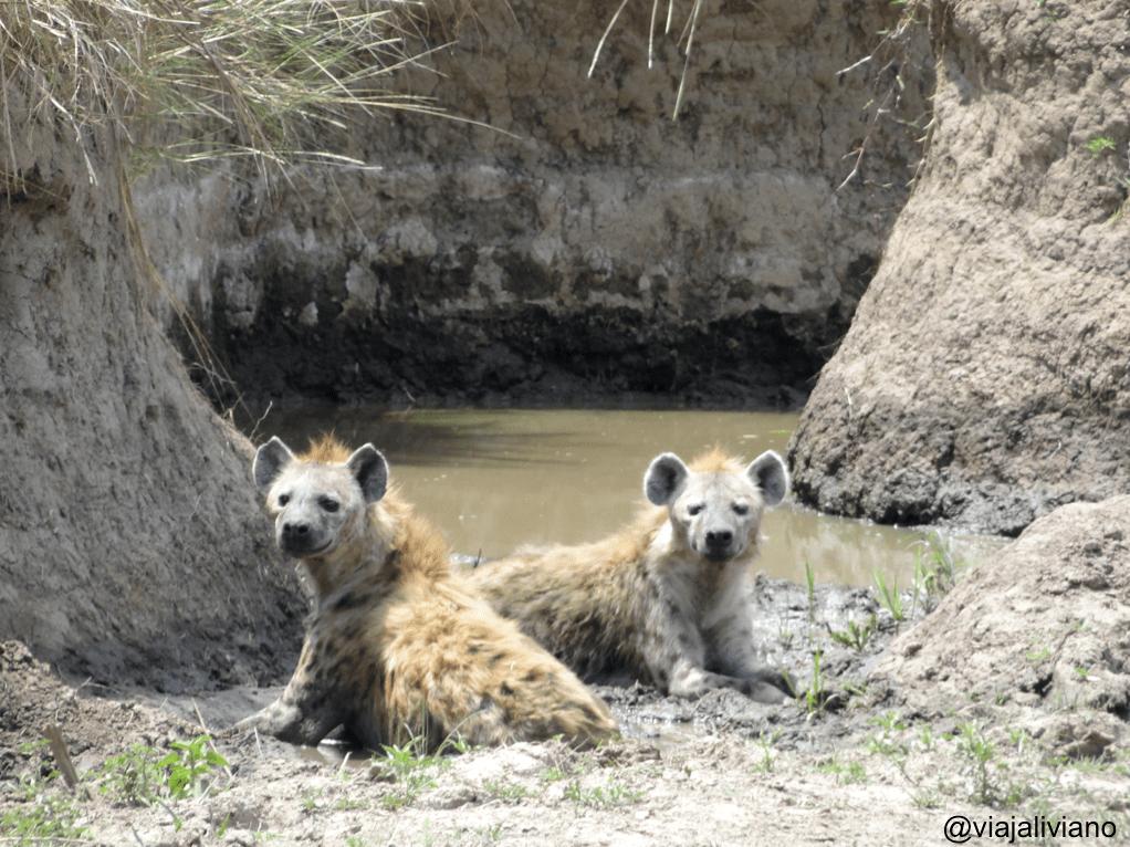 Hienas en el Masai Mara