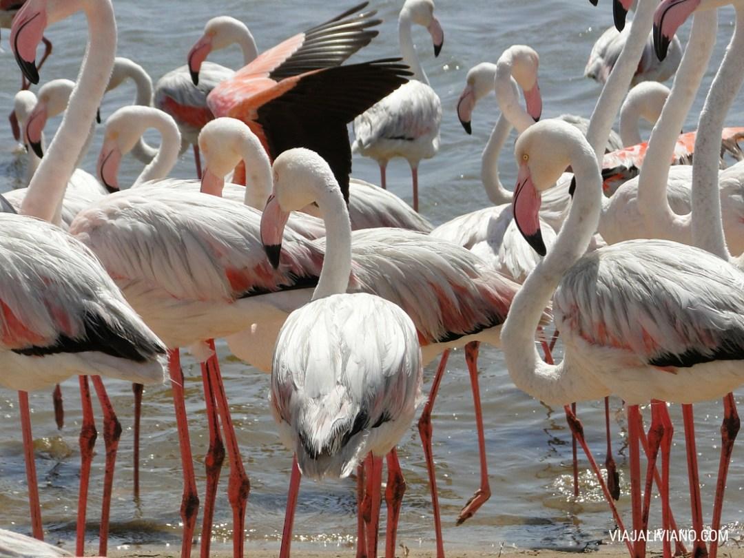 Flamingos en Lagoon (Walvis Bay)