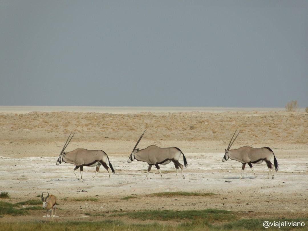 Orix Etosha National Park