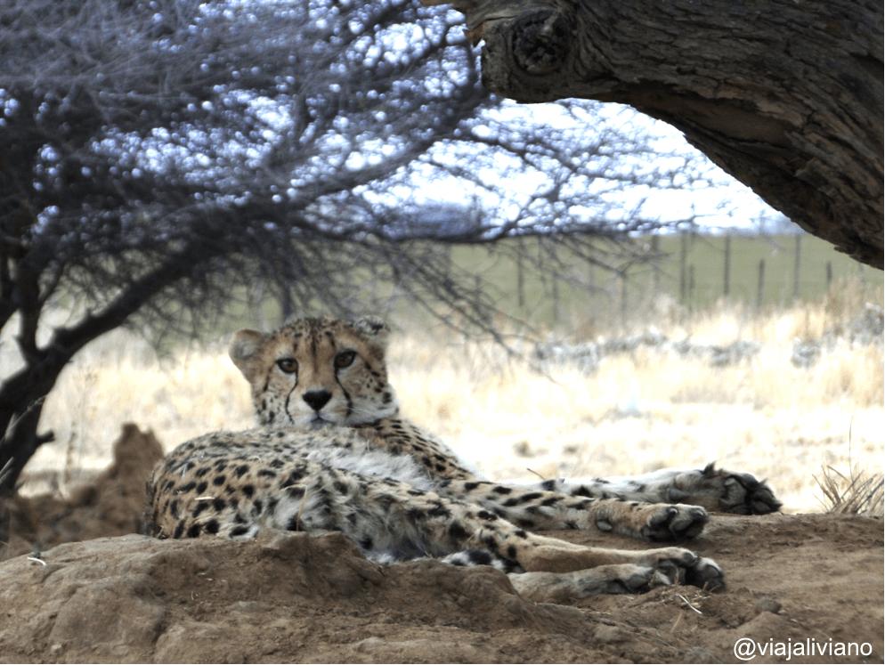 Guepardo en Africat