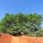 El árbol de buda, da la mejor sombra