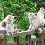 Macaco o mono común