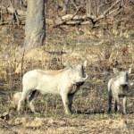 Facóqueros (warthogs)