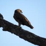 Aguila rapaz (Tawny eagle)