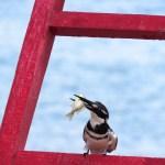 Se pueden ver muchas aves en acción como este king fisher
