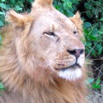 Todos los leones han tenido una vida difícil