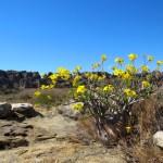 """Esta planta se llama """"pie de elefante"""" y crece en una zona muy árida"""