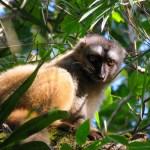 Lemur Woolly