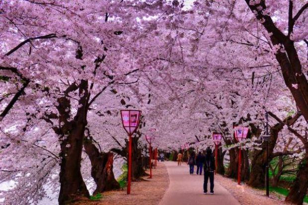 0_Sakura-road