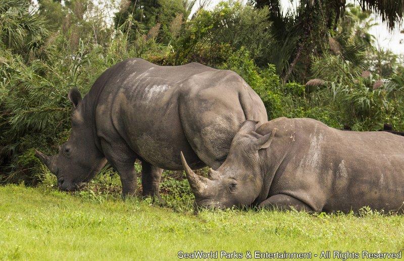 Busch Gardens Tampa anuncia gravidez de rinoceronte branco